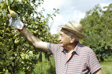 grandfather farmer who gathers pears from tree with straw hat