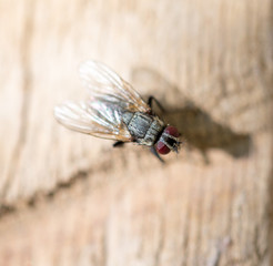 fly in nature. macro