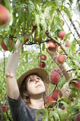 young farmer woman with plait and straw hat who gathers peaches