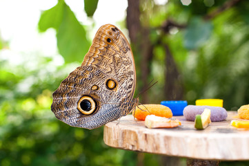 Owl butterfly (Caligo memnon) eating fruit juice