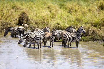 Zebras drinks of a water hole