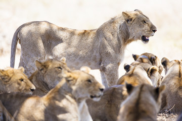 Pride of lions rests at the african savannah