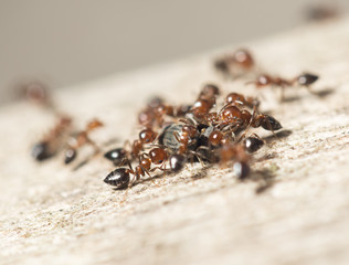 ants in nature. macro