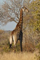 giraffe vertically