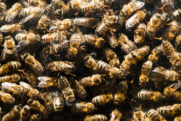 bees in hive, closeup view
