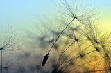 Golden sunset and dandelion, meditative zen background