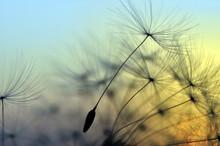 Coucher de soleil doré et le pissenlit, fond zen méditative