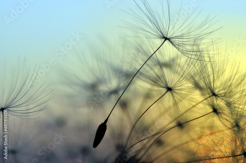 Golden sunset and dandelion, meditative zen background Plakat