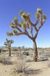 Joshua Trees in Joshua Tree National Park, California - 68784873