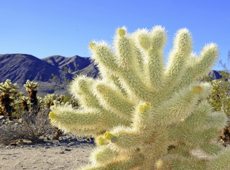 Cholla Cactus, Joshua Tree National Park, Califiornia