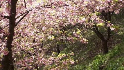 河津桜の森