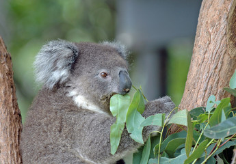 Koala feeding on Eucalyptus leaves, Australia