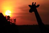 Giraffe Silhouette on the Masai Mara in Africa