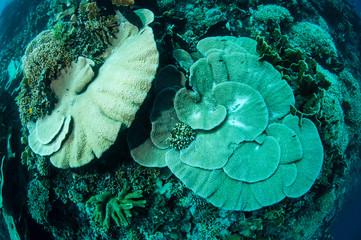 Hard plate coral Acropora in Gorontalo, Indonesia.