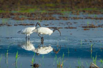 Couple of Black-headed ibis  walking for food