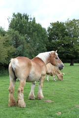 cheval de labours