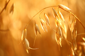 oat field