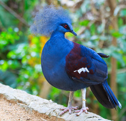 Exotic bird called Goura Victoria