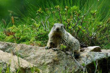Cucciolo di marmotta su sasso nel sentiero