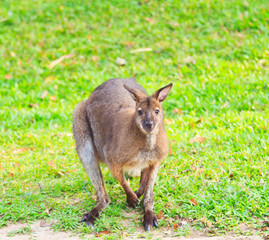 Red kangaroo or bennet's wallaby