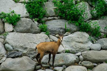 Camoscio su rocce in cerca di cibo