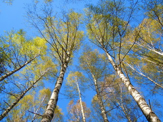 Springtide - blue sky and flourishing birch grove