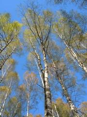 Springtide - blue sky and flourishing birch grove