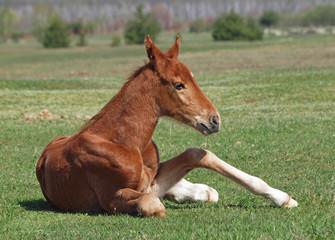 Little chestnut foal rests on a green meadow