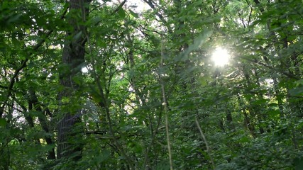 sun in the forest(trees) - sun rays