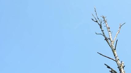 dry tree (branch) - blue sky