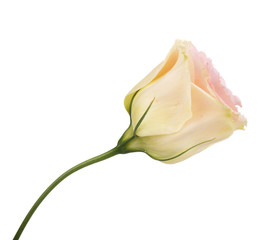 Eustoma flower isolated on white
