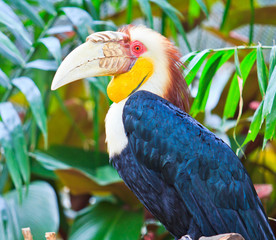 Great hornbill which has the forever love for its lover