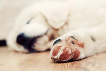 Cute puppy dog sleeping on wooden floor. Polish Tatra Sheepdog