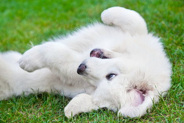 Cute white puppy dog playing on grass. Polish Tatra Sheepdog