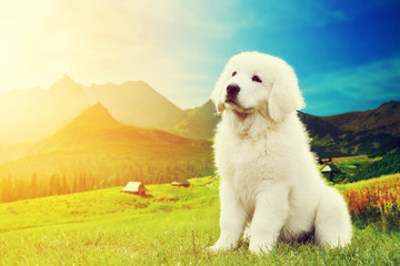 Cute white puppy dog sitting in mountains. Polish Tatra Sheepdog