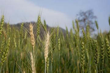 Wheat field in Chiang Mai, Thailand
