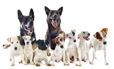 group of jack russel terrier and malinois