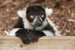 black and white ruffed lemur 9053