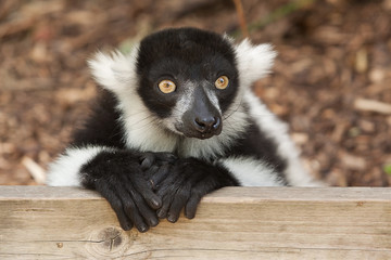 black and white ruffed lemur 9053
