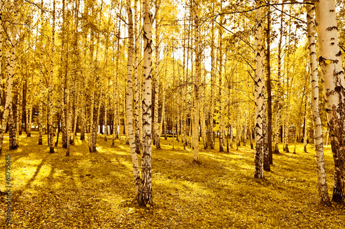 canvas print picture birch forest with long shadows