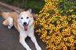 笑顔で伏せている犬と黄色い花