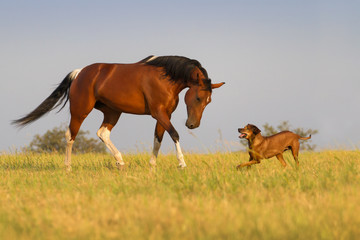 Beautiful american pinto mare trotting with dog