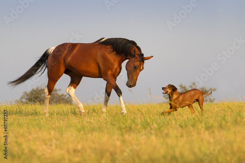 Fotobehang Paarden Beautiful american pinto mare trotting with dog