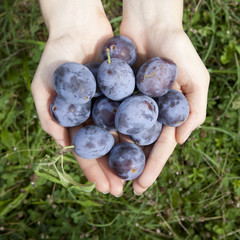 hands full of fresh raw whole bio plums