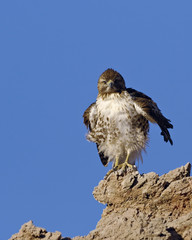 Young Hawk in Death Valley National Park