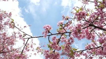 風に揺れる河津桜と青空
