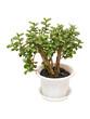 canvas print picture - houseplant money tree crassula