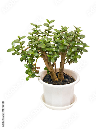 canvas print picture houseplant money tree crassula