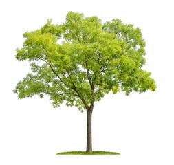 freigestellter japanischer Schnurbaum vor weißem Hintergrund