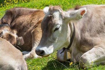 Une vache et sa cloche